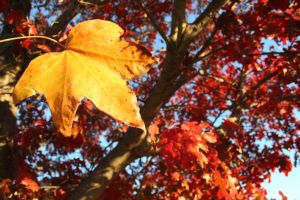 Red Tree Yellow Leaf by andi-stock