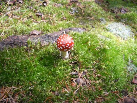 Fly agaric by pinktamao