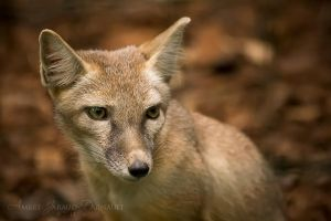 Young Corsac Fox I by darkcalypso