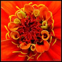 French Marigold by cycoze