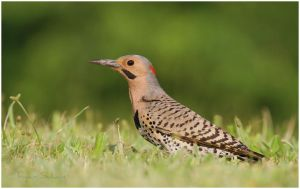 Northern Flicker - Digging by Ryser915