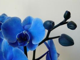 Blue Orchid Haze Too by KRSDeamon