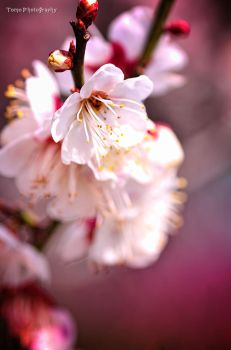 PRUNUS MUME by WindyLife