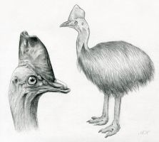Cassowary Sketches by TumblingTortoises