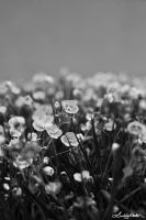 Violets BW by lynsea