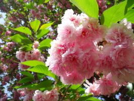 Japanese cherry by Tifa666