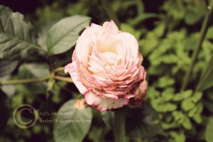Flower 2 by crystalcleargfx