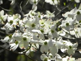 April Dogwood Blooms by FreezingDarkFantasy