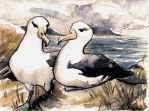 Black-Browed Albatross Pair by PonderosaPower