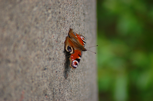Peacock butterfly by Tapire