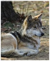 mexican Wolf 040 by ShineOverShadow