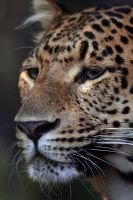 North China Leopard Portrait by robbobert