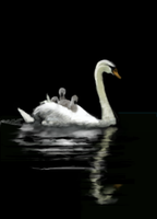 Swan swimming with chicks by MacAodhagain