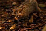 Wildcat Kitten by Shadow-and-Flame-86