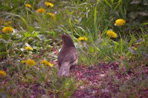 Female blackbird by Michawolf13