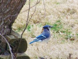 It's A Blue Jay Day by LovingLivingLife