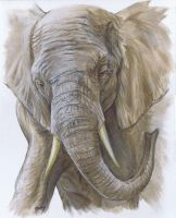 African Elephant by nudge1