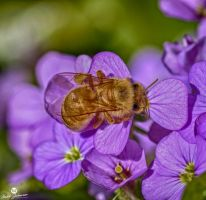 Resting on the Purple Flower HDR by mjohanson