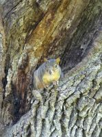 Squirrel in tree by Whimseystock