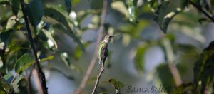 Female Ruby Throated Hummingbird by BamaBelle2012