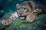 Snow Leopard: Tired Mother by amrodel