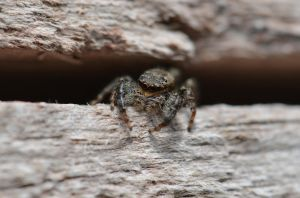 Cute jumpspider by Lydiie