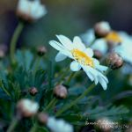 Buttons of Bloom by Manon-Blutsanguen