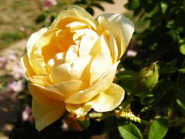 A Yellow Rose by siannajmj