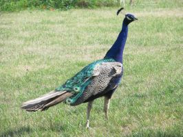 Peacock by Lythre-does-photos