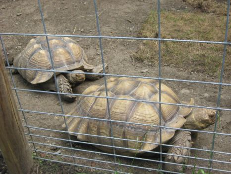 Zoo 26 - Tortoises 2 by sonira-stock