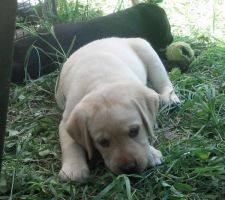 Labrador Puppy(s)  :D by SunsetFlareX