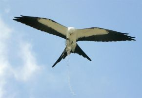Swallow-tailed Kite by Jamie-MacArthur