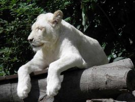 White lion 5 by JanuaryGuest