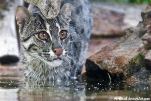 Fishing Cat by amrodel