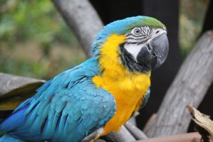 Blue Macaw 7 by firenze-design