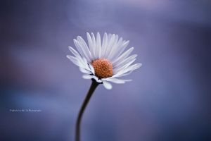 Little Daisy II by Tb--Photography