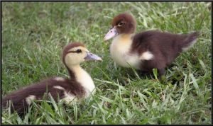 Baby Ducks by SalemCat