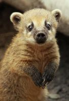 Coati Baby by Saromei