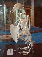 Pigeon Bird Skeleton Bones 2 by FantasyStock