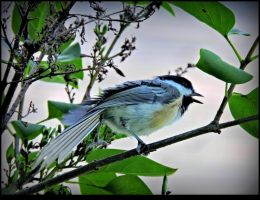 Chickadee singing. by JocelyneR