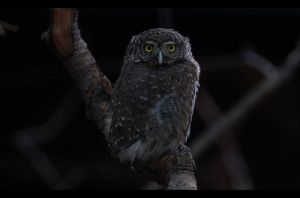 Little or big owl by Lilia73