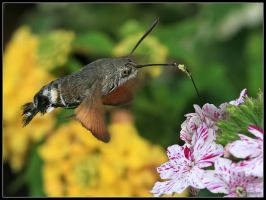 Hummingbird Hawk Moth 2 by cycoze