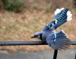 Jazzy Blue Jay 2 by WalnutHill