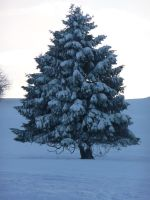 fir tree by mimose-stock