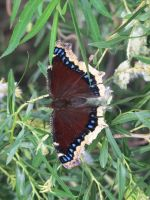 Mourning Cloak Butterfly 3a by Windthin