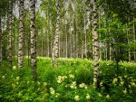 Meadowsweet-birch forest by akasurin