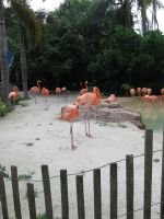 Flamingo Flock by CelticStrm-Stock (25) by CelticStrm-Stock