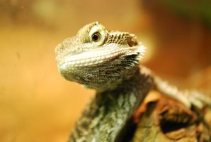 Timber - Bearded Dragon Baby by Dunkleosteus-noir
