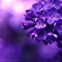 lilac.... by impatienss