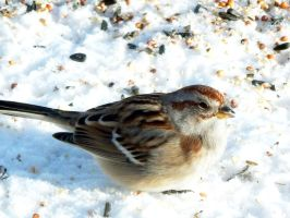 American Tree Sparrow by sharkbaits